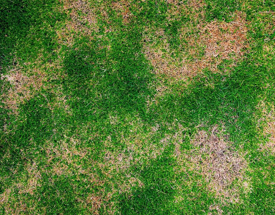 Problem Grass Pest Damage Brown Patches