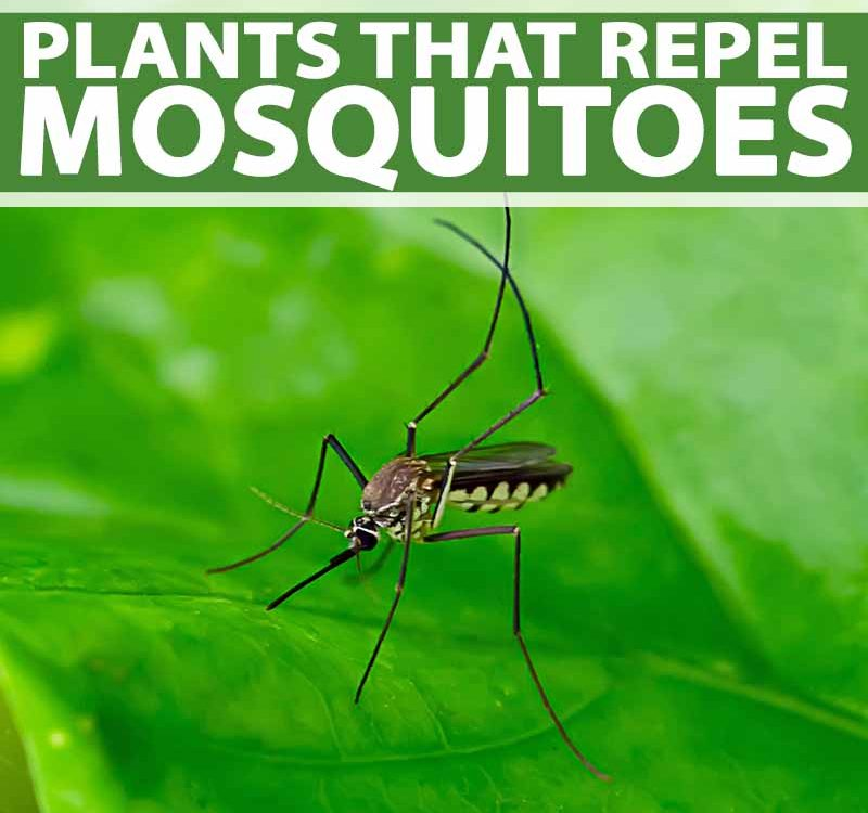 Plants-that-Repel-Mosquitoes-Pin